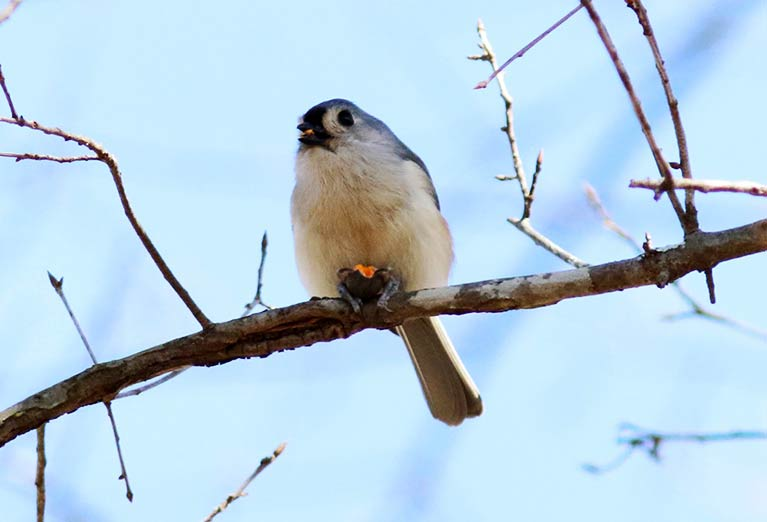 A Tufted Titmouse spotted in the Arboretum