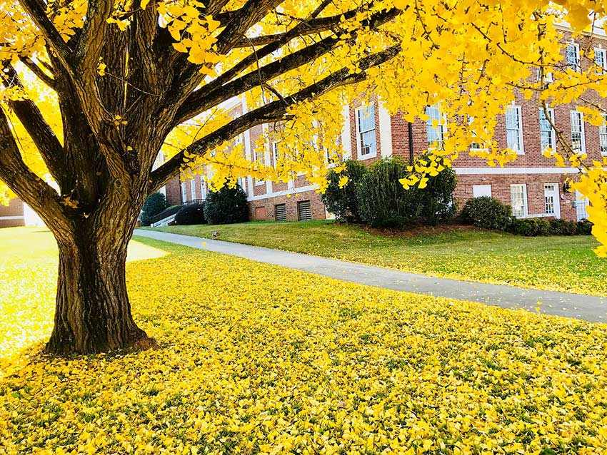 Gingko tree in front of building on campus